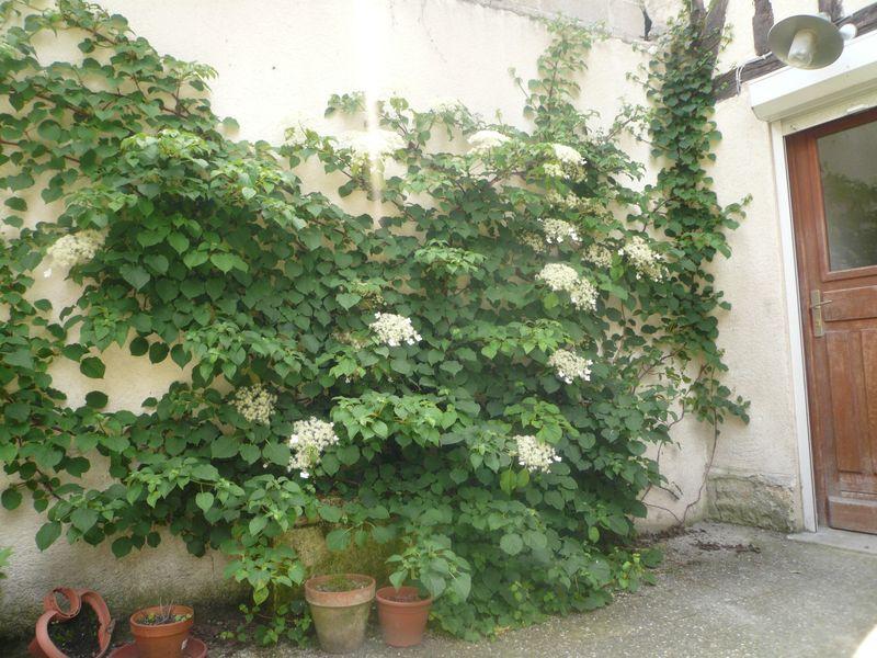 hortensia1.jpg