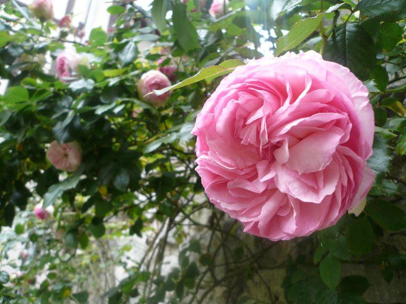 rosier2.jpg
