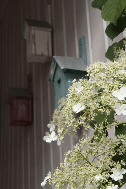 hydrangea 2016 2